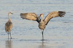 Sandhill Cranes are on the move, headed for Audubon's Rowe Sanctuary and adjacent stretches of the Platte River in Nebraska. Read about the spectacle and see more amazing photos from Smithsonian Magazine.