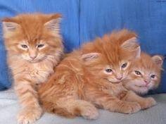 chats caramels