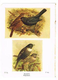Antique Graphics Wednesday - 1920's Bird Book Plates