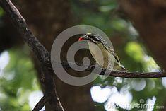 Photo about Yellow-fronted Tinkerbird ( Pogoniulus chrysoconus ) - Marakele National Park. Image of feather, bird, chrysoconus - 52219577 Garden Tools, National Parks, Feather, Southern, Africa, Birds, Stock Photos, Yellow, Image