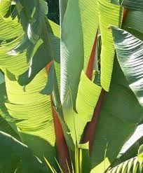 Resultado de imagen para banana leaves