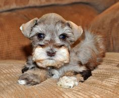 Toy Miniature Schnauzers | Beautiful Toy & Miniature Schnauzers Super Low Spring Pricing!! in ...