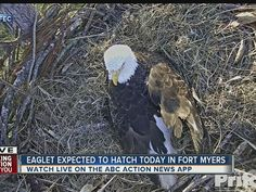 WATCH LIVE: Florida bald eagles await arrival of two eaglets http://www.abcactionnews.com/news/local-news/watch-live-florida-bald-eagles-await-arrival-of-two-eaglets