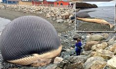 Fears that sixty ton blue whale carcass could EXPLODE at any moment http://dailym.ai/S9wTed