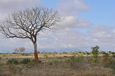 A tree at the Tsavo East National Park
