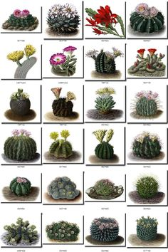 flowers Collection of 176 Cacti Cactaceae vintage Cactus Care, Cactus Flower, Growing Succulents, Planting Succulents, Types Of Cactus Plants, Air Plants, How To Grow Cactus, Cactus Terrarium, Prickly Pear Cactus