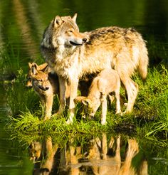 Google Image Result for http://earthjustice.org/sites/default/files/feature/2011/wolf-cubs-400a.jpg
