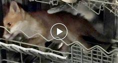 Homem Encontra Raposa Dentro Da Sua Máquina De Lavar Loiça