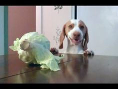 Dog Steals Cabbage :D