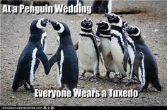 At a Penguin Wedding - (Lol) Funny Animal Pictures, Cute Pictures, Funny Animals, Cute Animals, Haha Funny, Hilarious, Lol, Penguin Wedding, Penguin Party