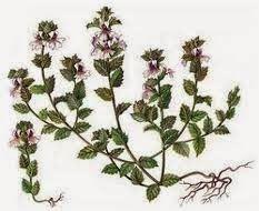 omega shop: Vidova trava Upoznajte vidovu travu , i lekovitosti ove biljke