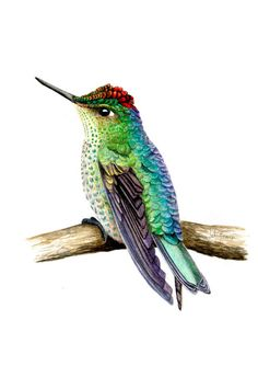 IL·LUSTRACIÈNCIA: Picaflor rubí  -  Julia Rouaux Watercolor Hummingbird, Hummingbird Art, Watercolor Galaxy, Watercolor Bird, Watercolor Paintings, Pencil Art Drawings, Bird Drawings, Animal Drawings, Watercolor Sketchbook