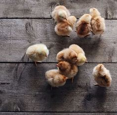 Natural | Chicks on barn boards