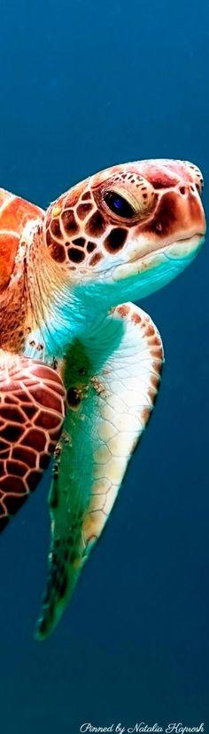 Sea turtle Such a gentle, precious creature. Sea Turtle Painting, Sea Turtle Art, Turtle Love, Beautiful Ocean, Animals Beautiful, Cute Animals, Animals Sea, Sea Turtle Pictures, Animal Pictures