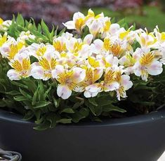 Alstroemeria - Floriferous Garden - Find your Horticultural Society and learn everything about Flowers and Gardening Flowers Name List, Types Of Flowers, Wild Flowers, Alstroemeria Plants, Peruvian Lilies, Lily Bloom, Hardy Perennials, White Gardens, Container Plants