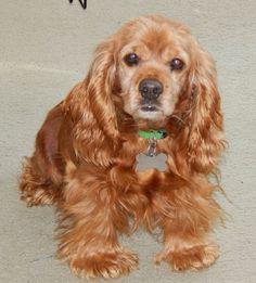 Petfinder  Adoptable | Dog | Cocker Spaniel | Canton, MI | Steph