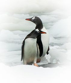 """Look left - Look right"" Gentoo´s from Antarctica Peninsula. By Jørn Allan Pedersen on 500px"