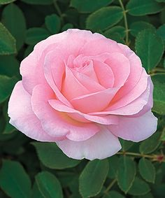 Look at this Live Falling in Love Hybrid Tea Rose - Set of Two on #zulily today!