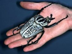 Goliath beetles (Goliathus) are the largest insects in terms of bulk and weight.