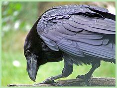 Raaf, raven by patries71, via Flickr  wow those wings