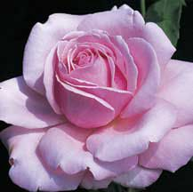 Memorial Day Hybrid Tea Rose | Hybrid Tea Roses | Edmunds Roses