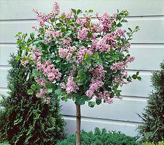 Dwarf flowering trees for zone 5 gardening articles for Flowering ornamental trees zone 5