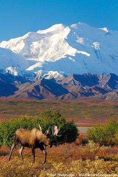 Bull moose in front of Mt. McKinley, Denali National Park, Alaska (Ron Niebrugge)