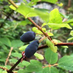 Honeyberries from Mr. Honeyberry! #gardening #homegrown #berries #westcoastliving