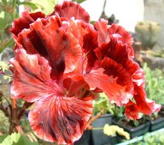 Geranium Photo:  This Photo was uploaded by Sue_049. Find other Geranium pictures and photos or upload your own with Photobucket free image and video hos...