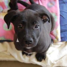 Peyton is looking for a new family! She is a Labrador Retriever blend and is around three months old. Do you need a new forever friend?.