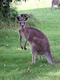 Kangaroo  #kangaroo  Visit our page here: http://what-do-animals-eat.com/kangaroos/