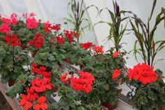 Pelargonia 'Dark Caliente Fire' Fire, Plants, Plant, Planets