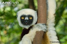 Coquerel's sifaka (Propithecus coquereli). Coquerel's sifaka is a strikingly beautiful and highly threatened lemur. Once considered a subspecies of Verreaux's sifaka (Propithecus verreauxi), Coquerel's sifaka can be distinguished from other...