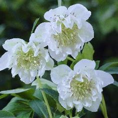 Helleborus x hybridus Mrs. Betty Ranicar (Double White Lenten Rose) Hardiness Zone: S / W Height: Deer Resistant: Yes Exposure: Full or Part Shade Blooms In: March-April Spacing: Ships as: Plastic Pot - cu. Part Shade Perennials, Shade Plants, White Flower Farm, White Flowers, Lenten Rose, Perennial Flowering Plants, Moon Garden, Christmas Rose, White Gardens