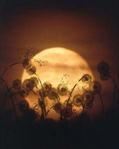 Dandelion Moon.