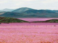 チリのアタカマ砂漠に雨…信じられないような美しい光景に - ライブドアニュース