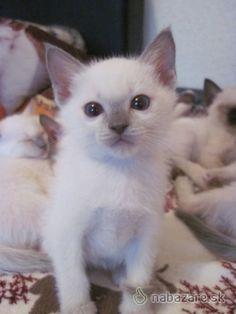 Inzerát Thajská mačka