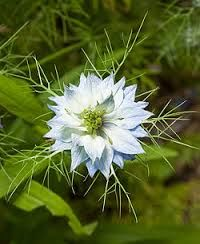 Google Image Result for http://upload.wikimedia.org/wikipedia/commons/thumb/6/60/Nigella_damascena_Kaldari_01.jpg/250px-Nigella_damascena_Kaldari_01.jpg