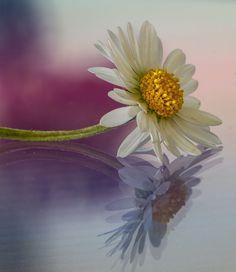White Ox-eye daisy flower