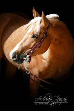 Cielos Little Wimpy (Wimpys Little Step x Quixote Del Cielo) 2010 Palomino German AQHA Stallion
