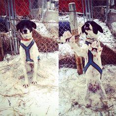 Je vous présente un dernier chien avant mon départ. Il s'agit d'Anouk. C'est un amour, elle est si attachante ☺️☺️ #canada #saskatchewan #meadowlake #sleddogs #sled #dog #dogs #dogsofinstagram #chien #pvt #pvtistes #whv #snow #snowday #white #instagood #instalove #instatravel #travel #trip #voyage