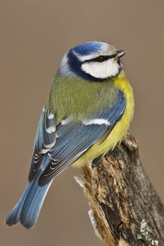 [Blue Tit (Cyanistes caeruleus)] I chose to Pin this image because it gives an insight into the form and colours of the Blue Tit from a different perspective.: