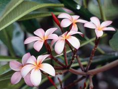 pink jasmine blossoms on a vine would be a nice ankle tat
