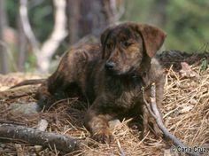 Cão de Castro Laboreiro, Dog of Castro Laboreiro, Portuguese Cattle Dog, Portuguese Watchdog, Cao de Castro Laboreiro / LABOREIRO WATCH DOG