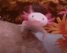 Things that make you go AWW! A place for really cute pictures and videos! Axolotl Pet, Axolotl Tank, Animals And Pets, Funny Animals, Young Animal, Reptiles And Amphibians, Cute Little Animals, Cute Gif, Pet Care