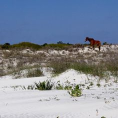 Wild horses! Well, 1 wild horse. Spotted hiking along the beach on Cumberland Island.