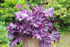 """Heuchera 'Forever Purple - also in lime, red and caramel- 12""""H X 22""""W- low maintenance, deer resistant"""