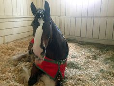 Behind The Stall Door With: The Budweiser Clydesdales ...