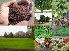 Validated and Potential Medicinal Rice Formulations for Diabetes Type 2 and Cancer Complications and Revitalization of Liver (TH Group-186) from Pankaj Oudhia's Medicinal Plant Database