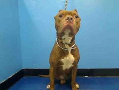 GONE RIP 8/20/13 Manhattan CYPRESS A0975301 Male brown pit mix 5YRS Active & exuberant Cypress was found as a stray He's resources guarding indicates he may have had to defend his food. He may also be a bit dog selective so care should be taken when finding a home w/ pets Cypress could use some guidance but he certainly deserves a chance to live Help Cypress tonite contact a New Hope Approved rescue & share his bio everywhere Cypress has until noon tomorrow to find a way to safety.